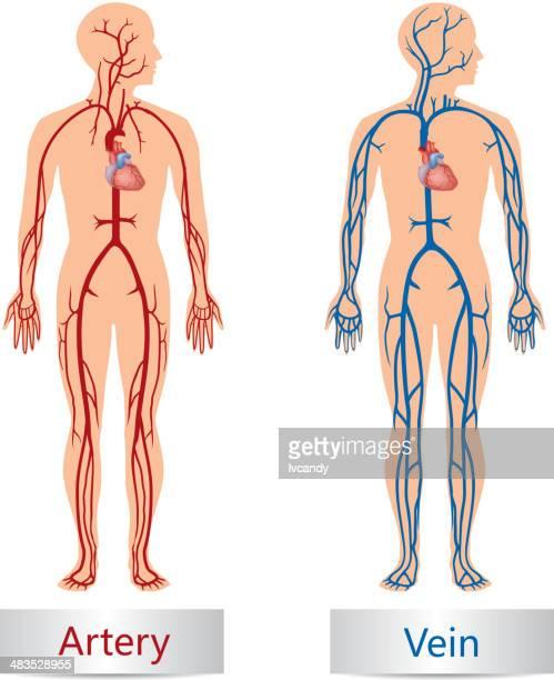 動脈、静脈 - 静脈点のイラスト素材/クリップアート素材/マンガ素材/アイコン素材