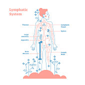 Artistic lymphatic system anatomical vector illustration diagram poster, decorative and elegant medical scheme with lymph nodes and tissue fluid circulation flow network.