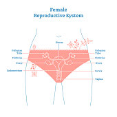 Artistic style female reproductive system vector illustration educational poster. Health and medicine labeled diagram,female sexual organ cross section.