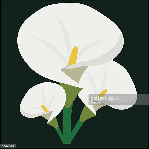 arum (or calla) lilly (vector) - calla lily stock illustrations, clip art, cartoons, & icons