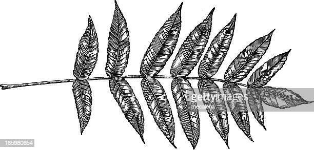 ash leaf - ash stock illustrations, clip art, cartoons, & icons