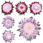 Aster flowers, set of vector brush illustrations.