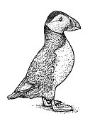 Atlantic Puffin or Common Puffin illustration, drawing, engraving,   ink, line art, vector