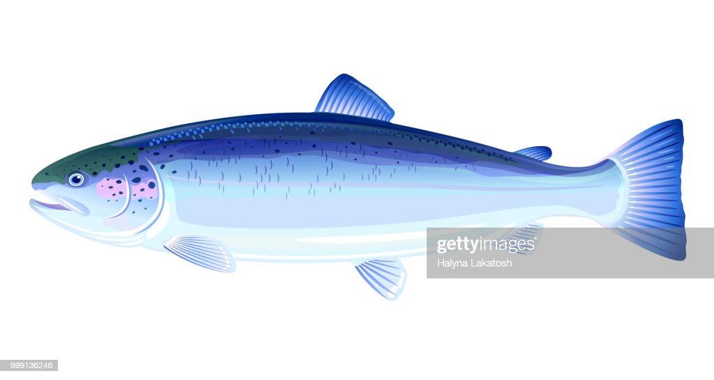 Atlantic Salmon Fish