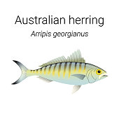 Australian herring also known as Tommy ruff - endemic Australian fish species found in the coastal waters of Southern Australia illustration