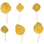 Autumn birch or Betula, aspen, Populus tremula leaves