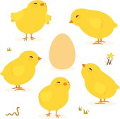 Baby chickens and Egg