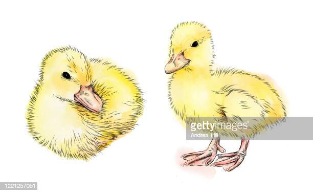 baby duck ink and watercolor vector illustration - duckling stock illustrations
