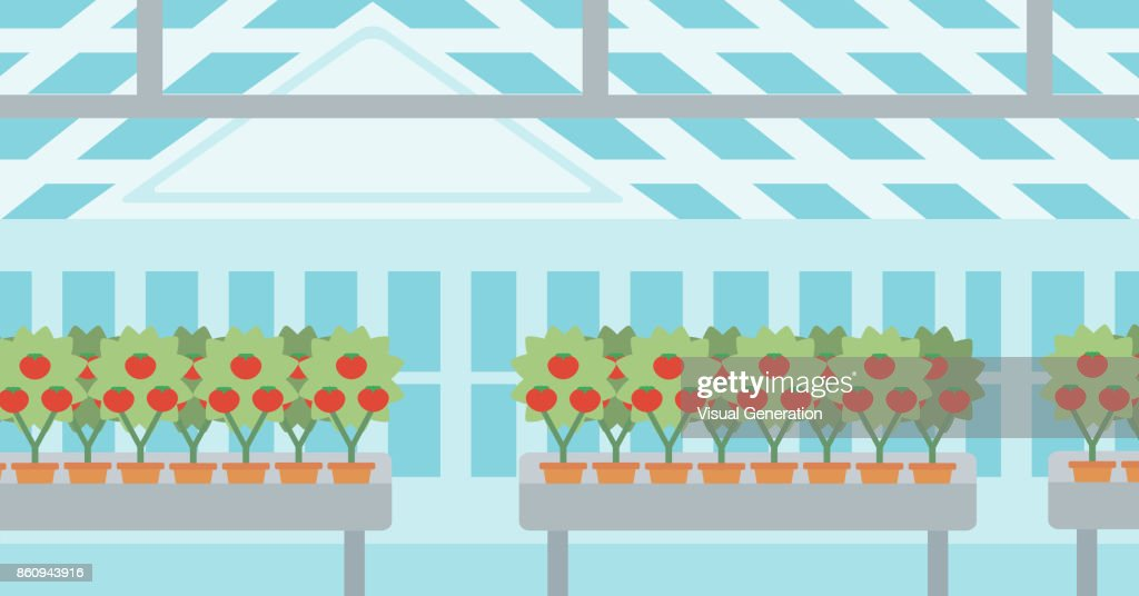 Background of tomatoes in the greenhouse