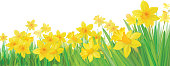 Background with bottom border of yellow daffodils