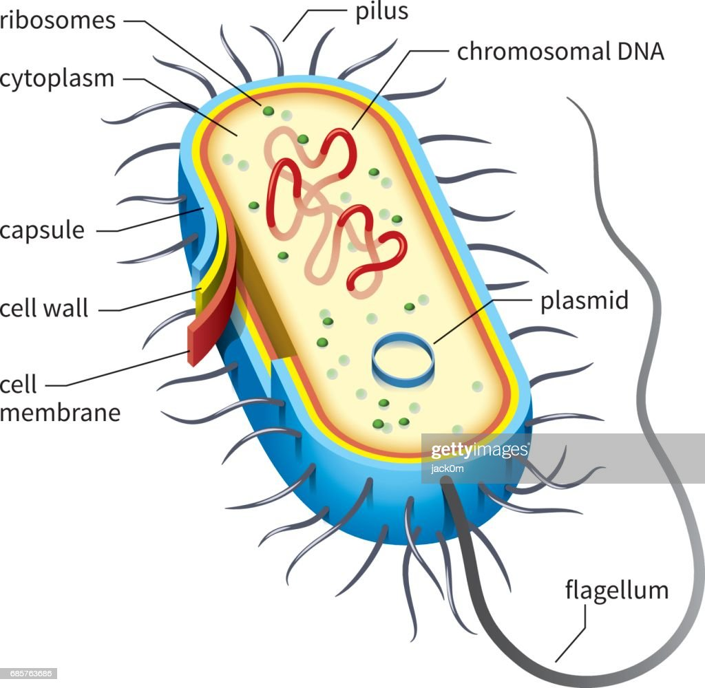 Bacterial Cell Diagram High-res Vector Graphic