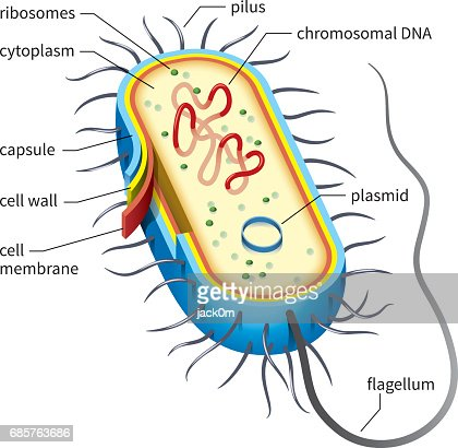 Bacterial Cell Diagram Vector Art Getty Images