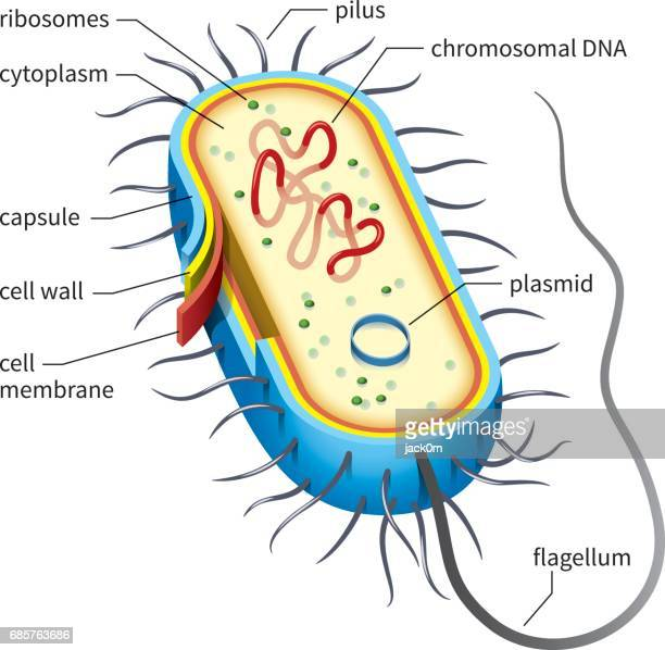 Prokaryote Stock Illustrations And Cartoons Getty Images