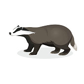 Badger on short legs in realistic style isolated on white