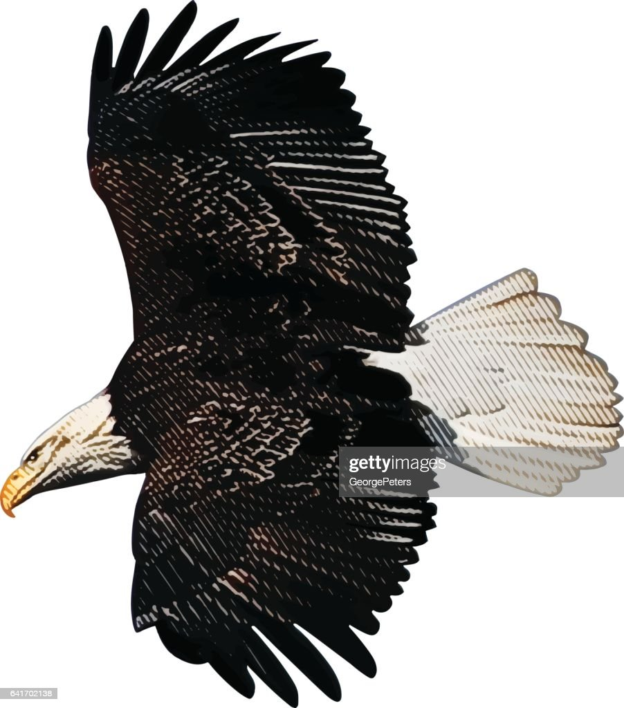 Bald Eagle Flying. Isolated on white background