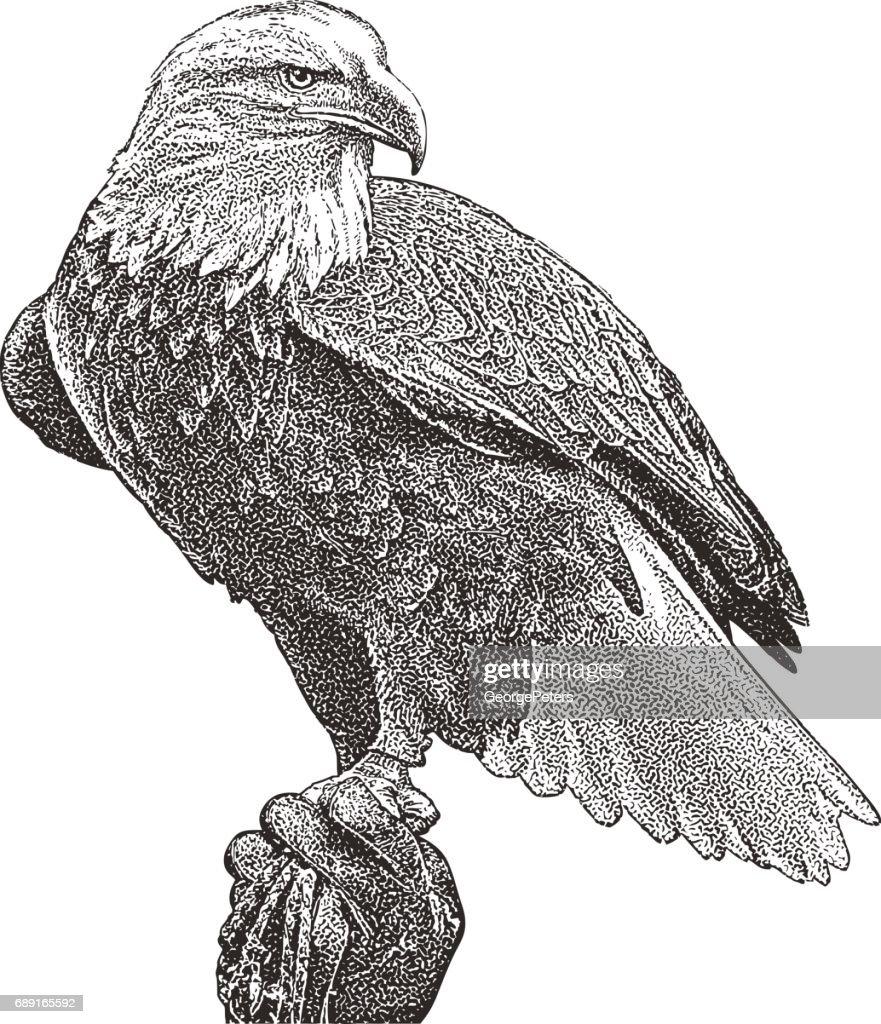 Águila calva percha. Recorte : Ilustración de stock