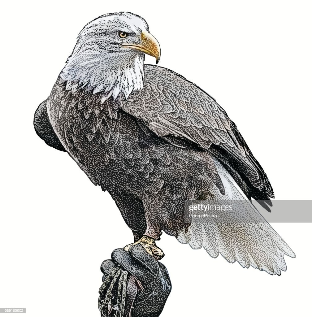 Bald Eagle perching. Cutout
