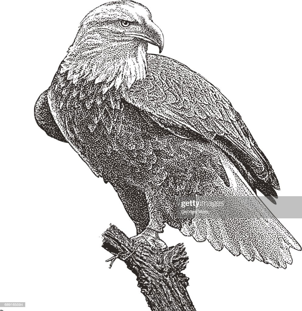 Bald Eagle perching on stump. Cutout