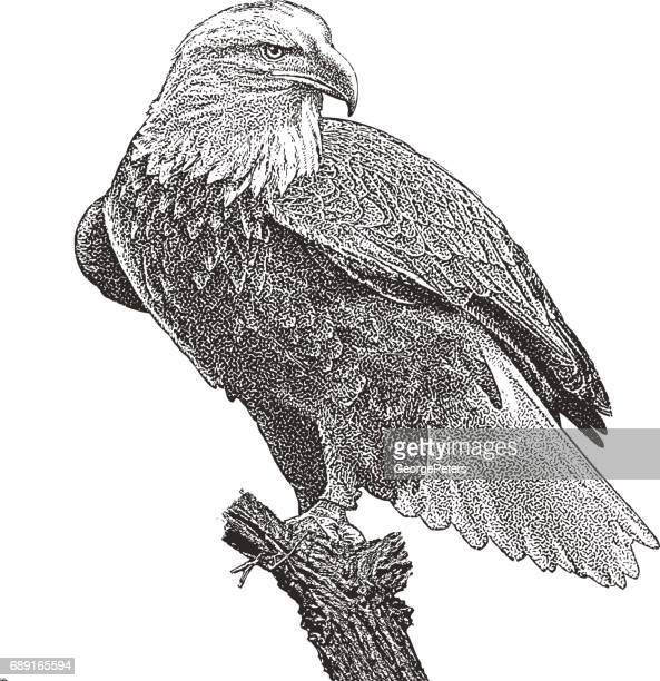 Bald Eagle perching on stump. Cutout