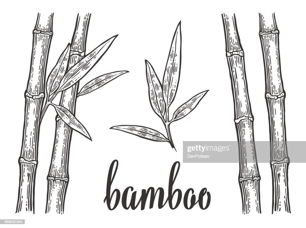 Bamboo trees with leaf white silhouettes and black outline. Hand drawn design element. Vintage vector engraving illustration for logotype, poster, web. Isolated on white background