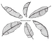 Banana leaves by hand drawing and sketch with line-art on white backgrounds.