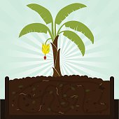 Banana tree and compost