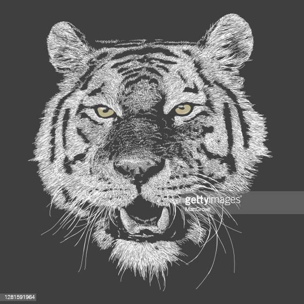 bangal tiger smile growl. - animal body part stock illustrations