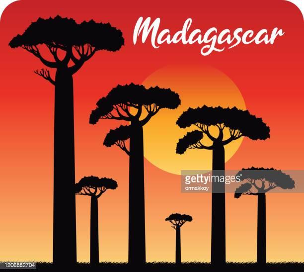stockillustraties, clipart, cartoons en iconen met baobab tree, baobab avenue, madagaskar - tropische boom