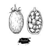 Baobab vector superfood drawing. Isolated hand drawn  illustrati