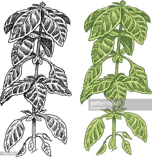 basil herb - spice - basil stock illustrations, clip art, cartoons, & icons