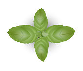 Basil leaves background for banner, celebration, holiday, packaging, poster. Realistic 3d leaf vector
