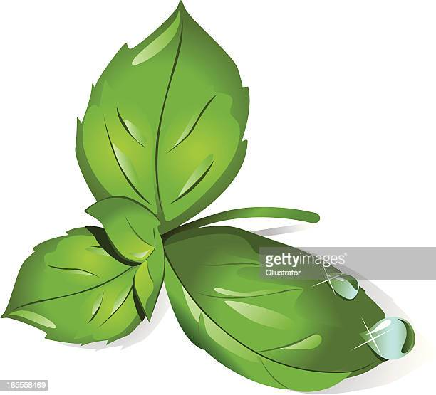 basil leaves - basil stock illustrations, clip art, cartoons, & icons