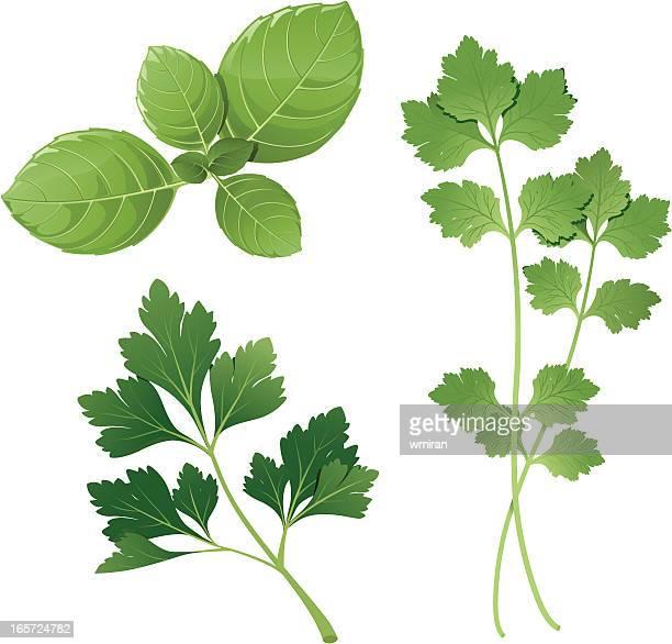 basil, parsley, cilantro - basil stock illustrations, clip art, cartoons, & icons