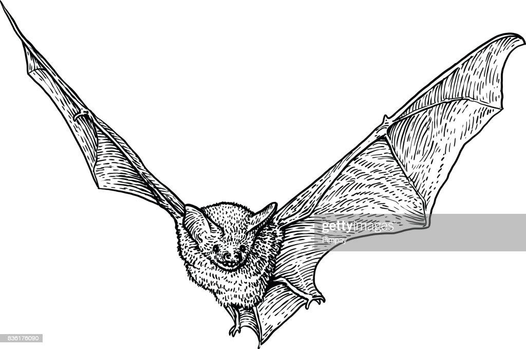 Bat illustration, drawing, engraving, ink, line art, vector