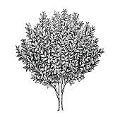 Bay laurel tree.