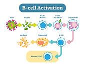 B-Cell activation diagram, vector scheme illustration.