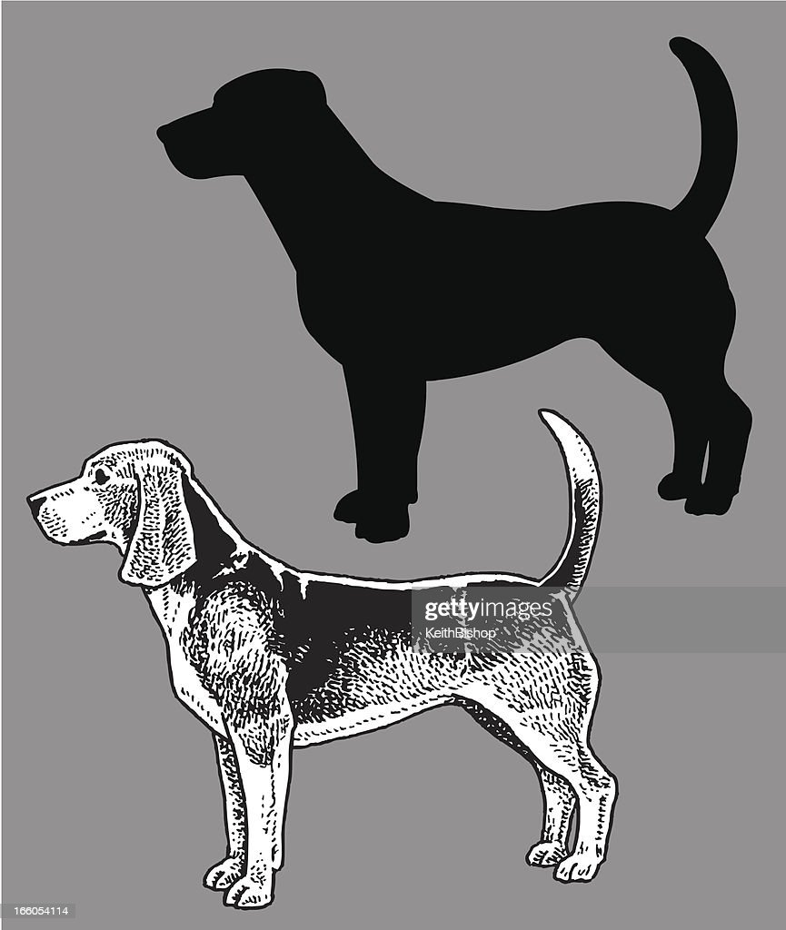 Beagle - Dog, domestic pet
