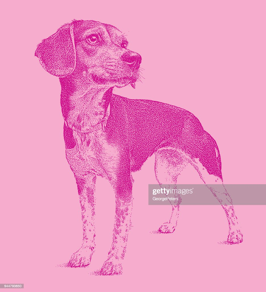 Beagle dog waiting to be adopted : Stock Illustration