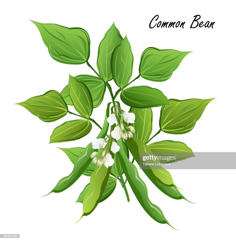 Bean plant with flowers and pods, vector illustration.