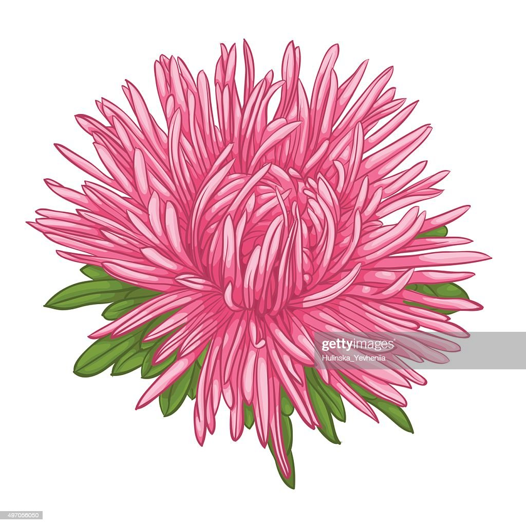 Beautiful aster isolated on white background.