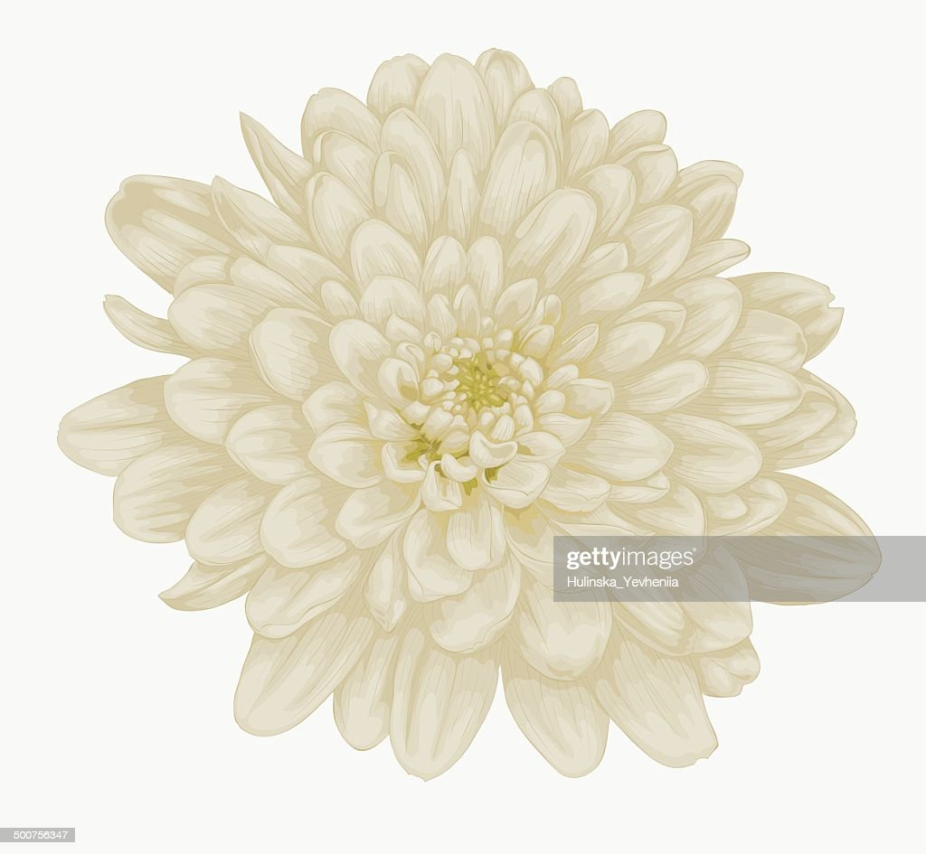beautiful beige dahlia isolated on white.
