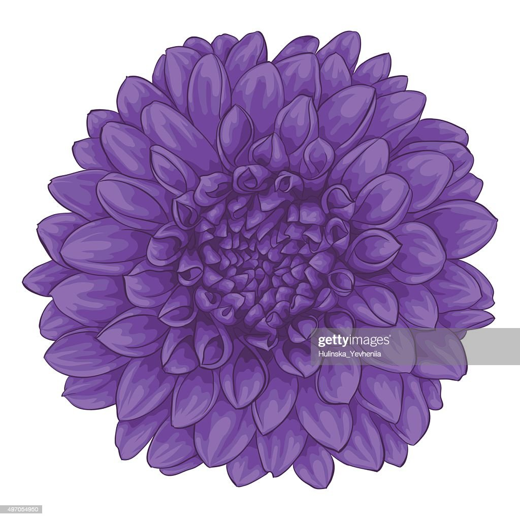 beautiful dahlia isolated on white background.