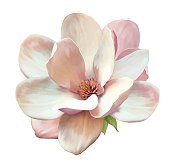 Beautiful Magnolia flower. Vector
