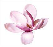Beautiful Magnolia flower. Vector