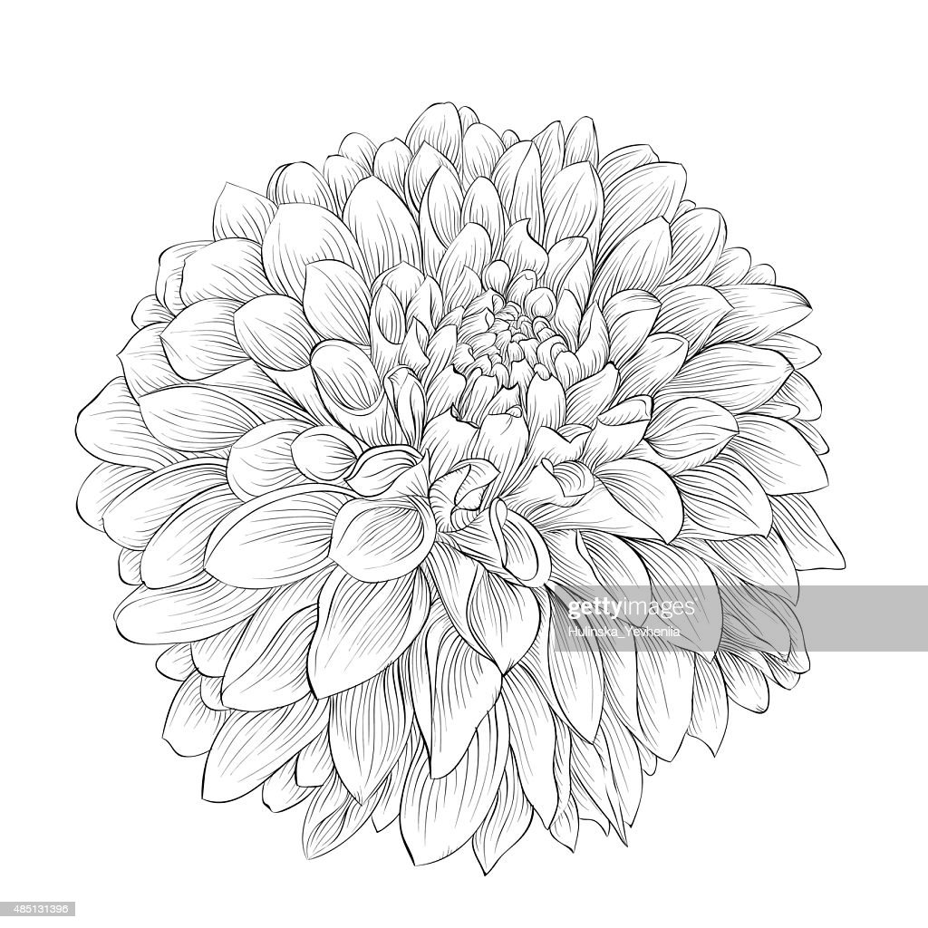 beautiful monochrome black and white dahlia flower isolated on background.