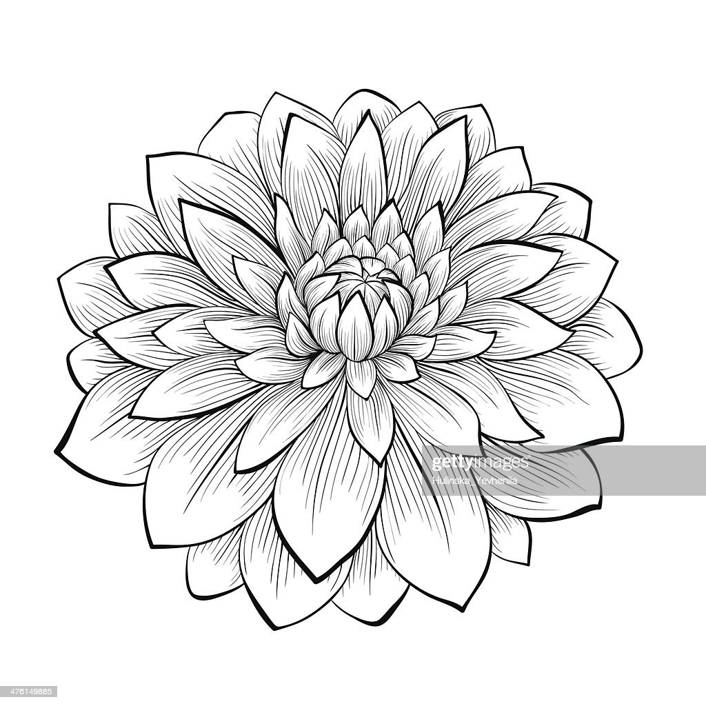 beautiful monochrome black and white dahlia flower isolated