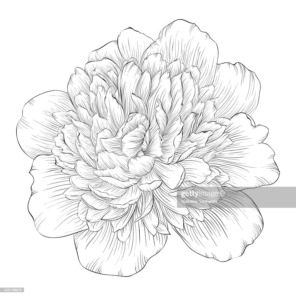 beautiful monochrome black and white peony flower isolated on white background.