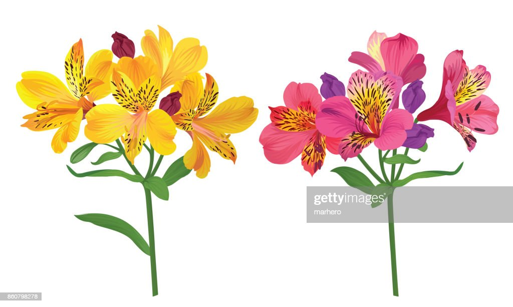 Beautiful pink and yellow alstroemeria lily flowers on white background.