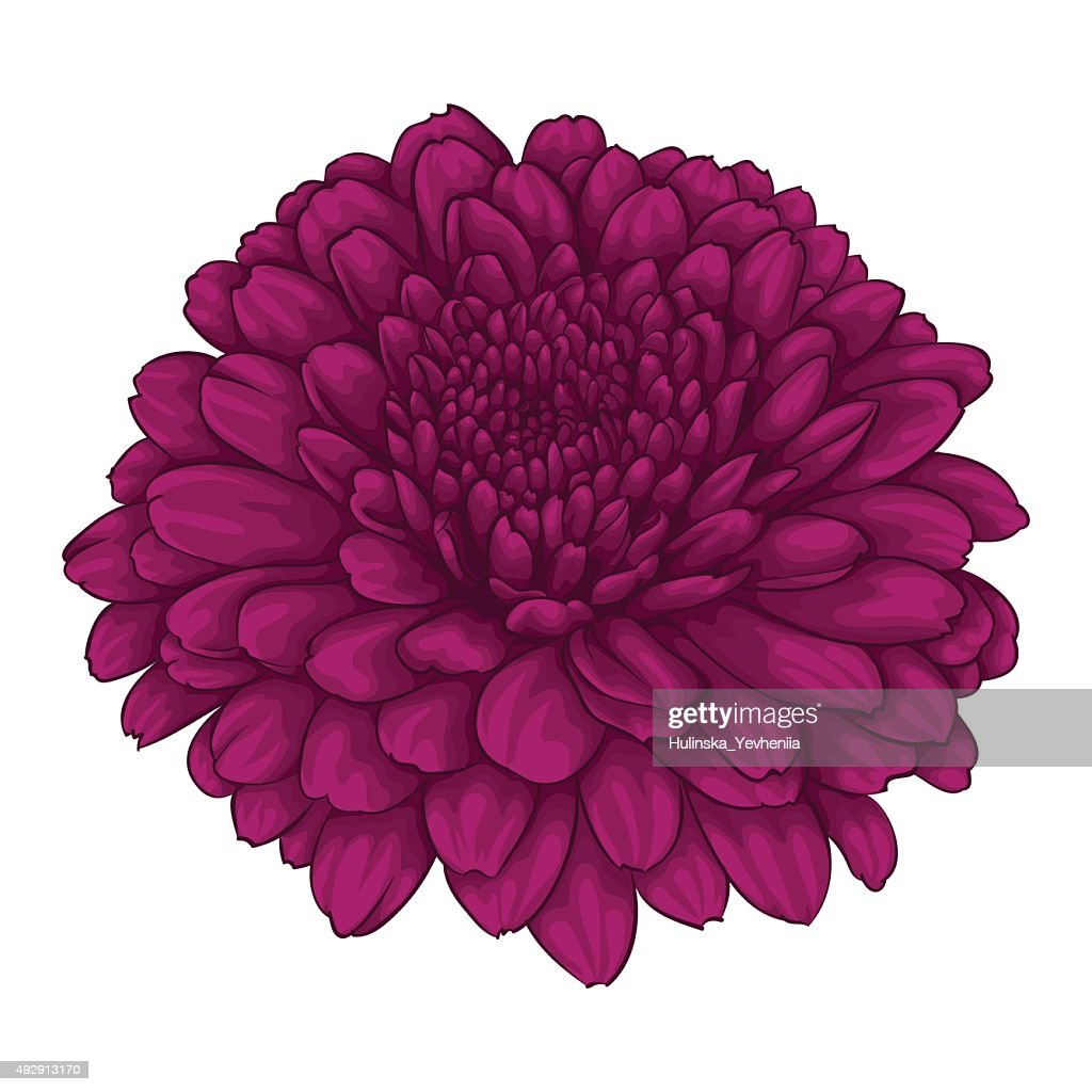 beautiful pink chrysanthemum flower. effect watercolor isolated on white background.
