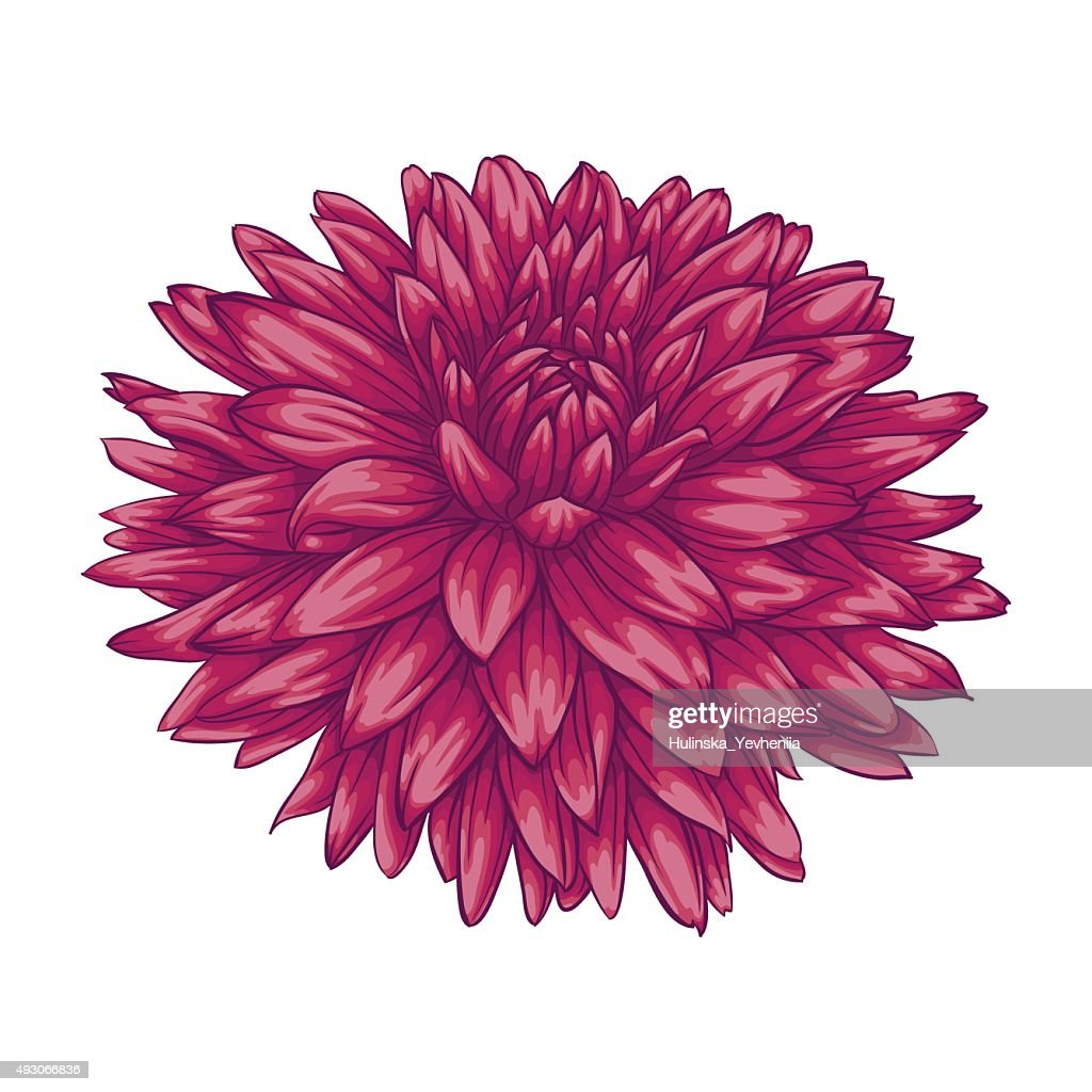 beautiful pink dahlia isolated on white background.